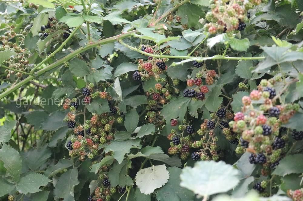 ягоды ежевики летом