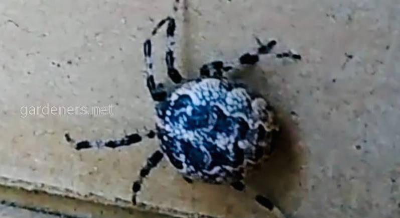 Павуки-хрестоносці, павуки-стрибуни та павуки-вовки на службі у садовода