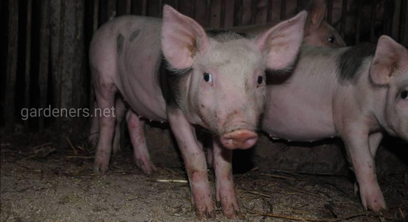 Чи можна зробити бізнес на вирощуванні свиней?