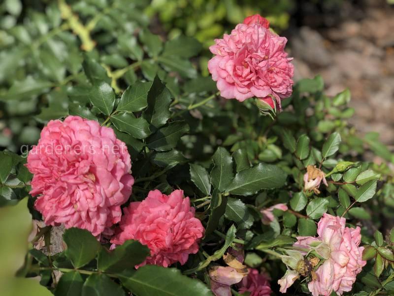 Как сажать розы осенью?