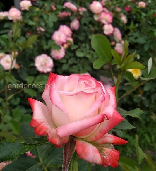 Як успішно вирощувати розкішні карликові троянди?