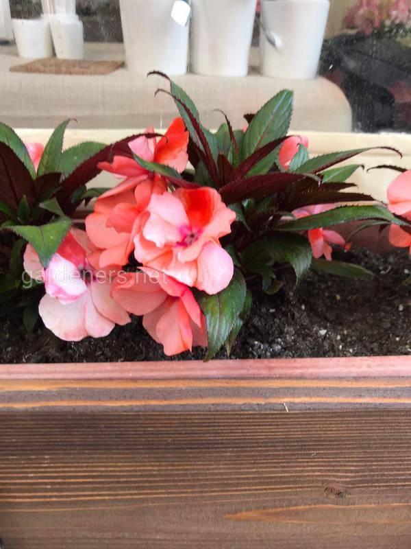 Як правильно посадити бальзамін в горщик або в саду?