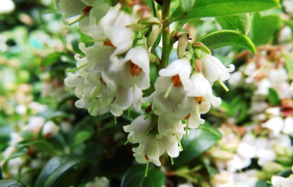 цветение брусники