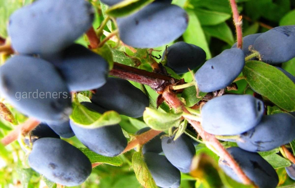 Сорт жимолости Голубое веретено