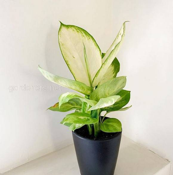 Які кімнатні рослини можуть бути отруйними?