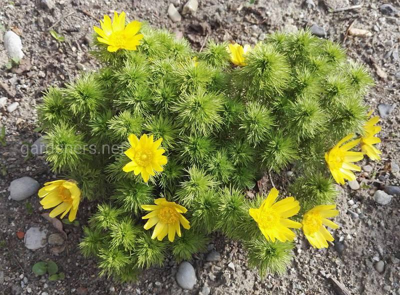 Горицвіт (Адоніс) весняний - отруйна рослин, яка лікує серце