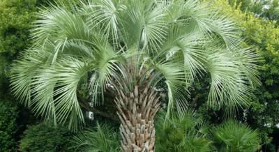 пальма бутия1.jpg