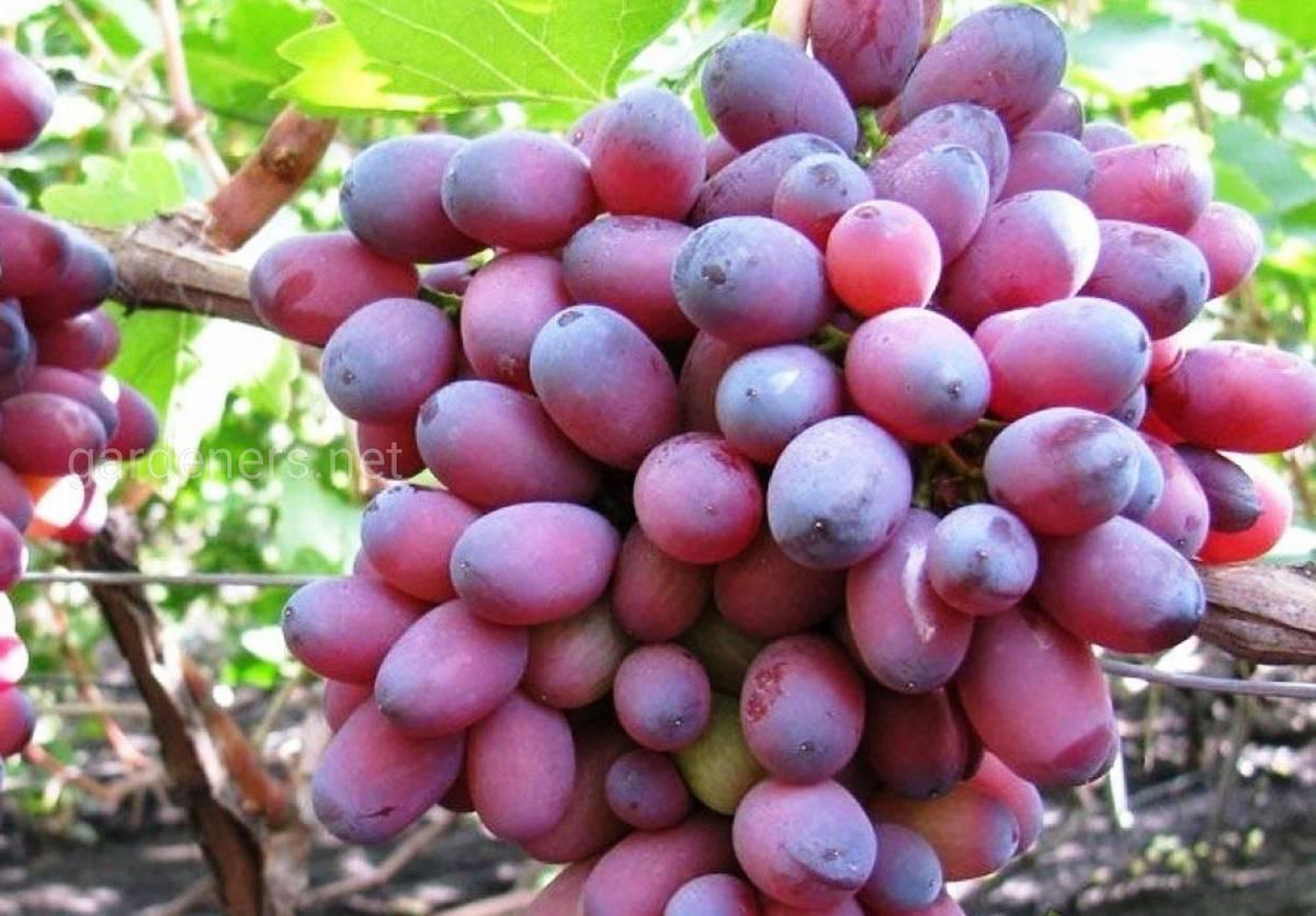 Сорт винограда Кармакод