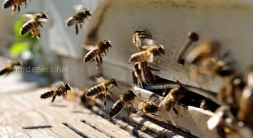 бджоли.jpg