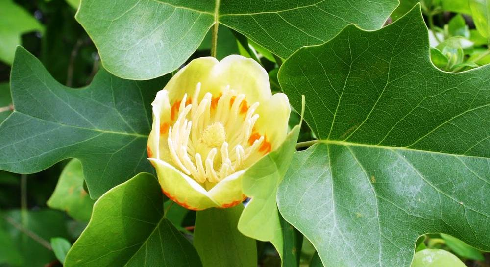 тюльпановое дерево__.JPG