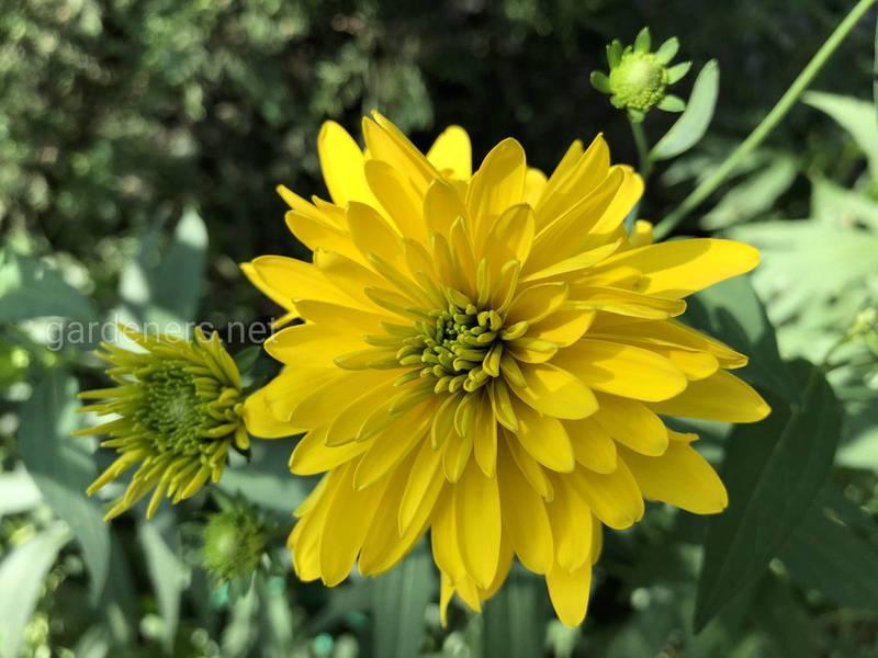 Хризантема як лікарська рослина