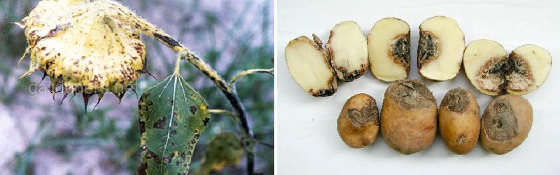 Какой вред наносит фомоз картофеля и как с ним бороться?