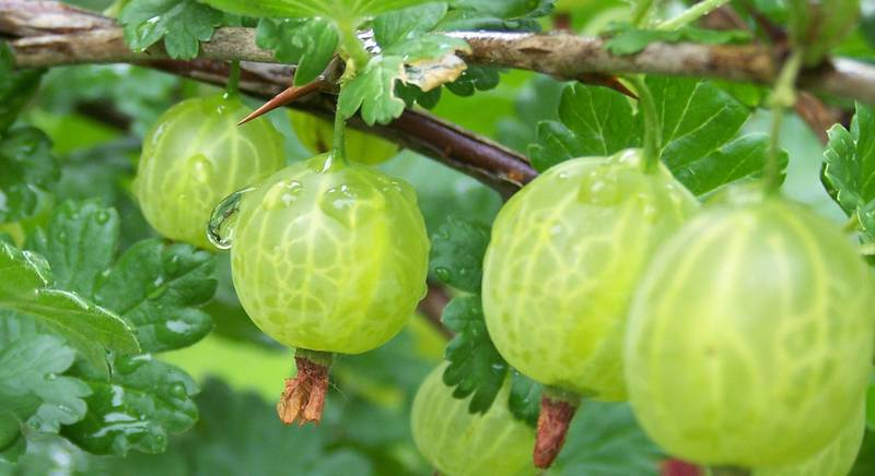 Крыжовник: полезные свойства северного винограда