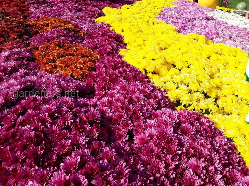Що символізують хризантеми в залежності від кольору?