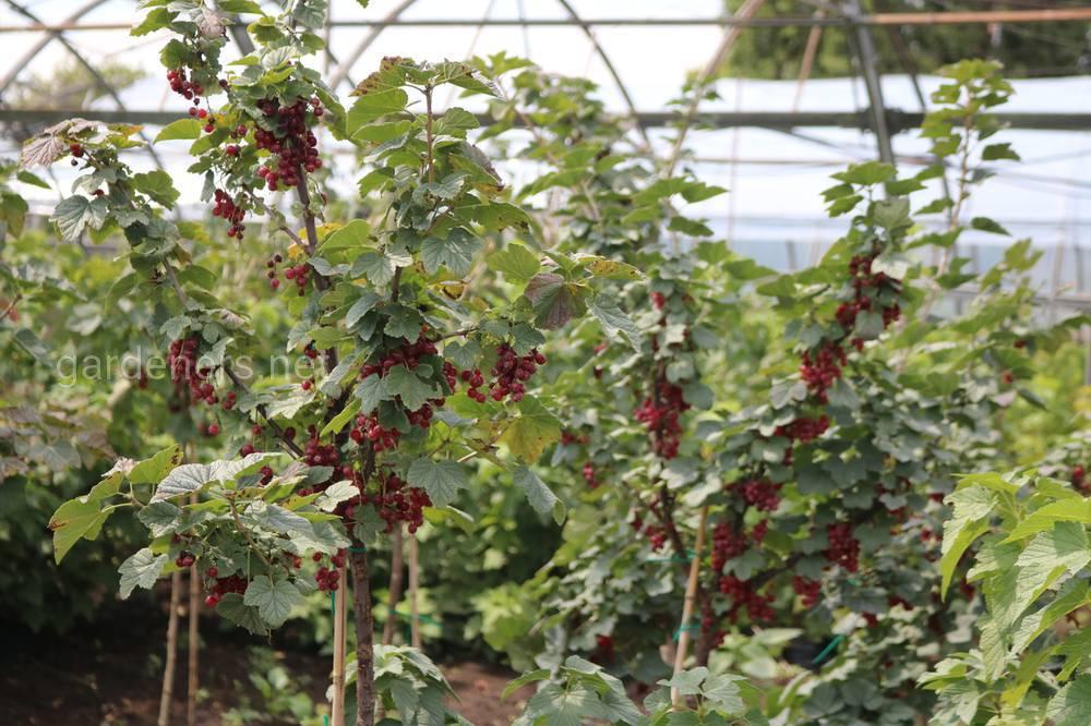ягоды питомник Деметра