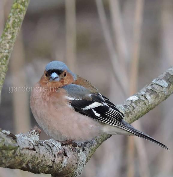 Зяблик — маленькая певчая птица