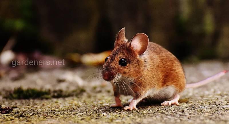 мышь на даче.jpg