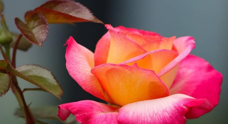 Весенняя обрезка и удобрение розы. Секреты буйного цветения роз!