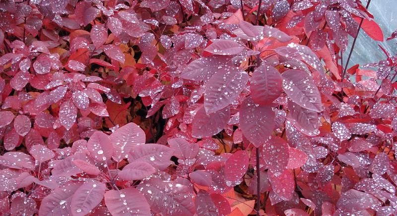скумпия листья.jpg