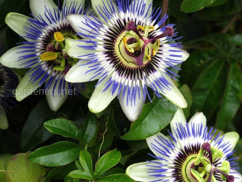 Звідки пішла назва квітки пасифлори?