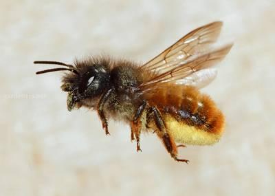 Пчела Осмия рыжая