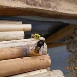 Бджілка ОСМІЯ