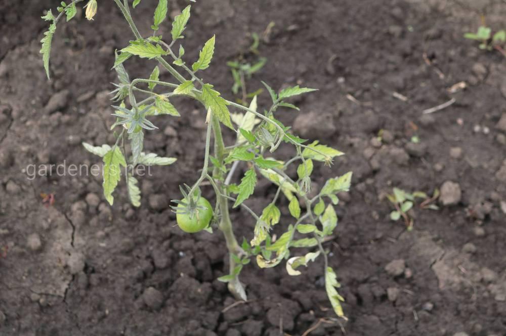 спасти переросшую рассаду томатов