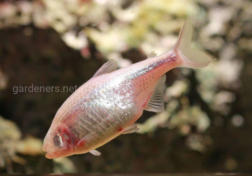 Безглазая рыба