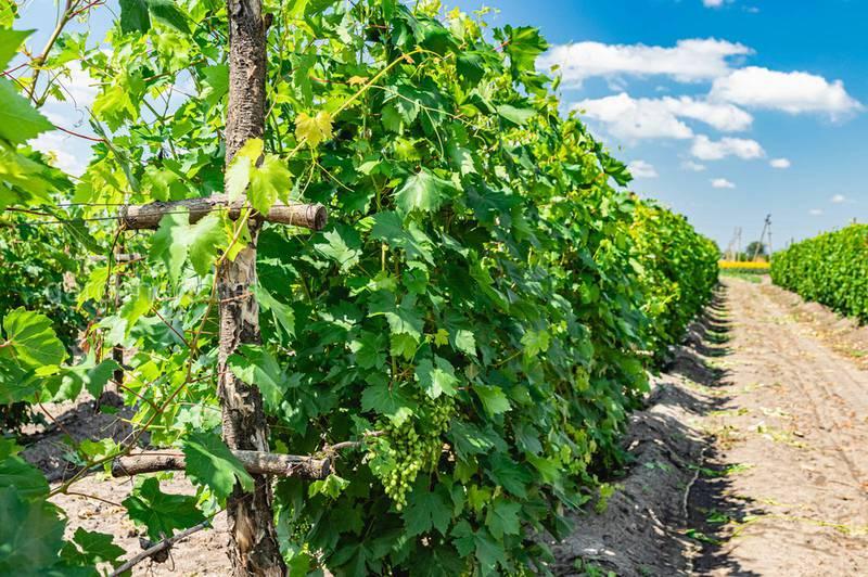 На що спрямована додаткова обрізка винограду? Які роботи включає?