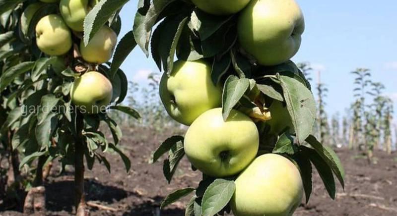 Топ-10 интересных фактов о яблоне
