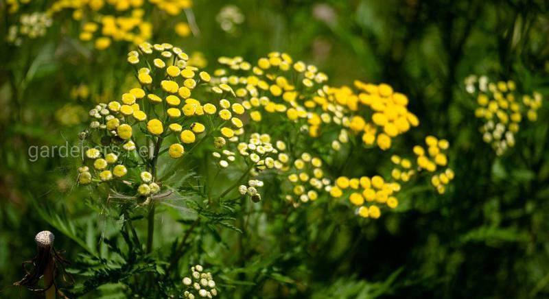 Пижма от клещей и вредителей растений