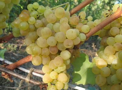 Виноград сорт Білий кишмиш