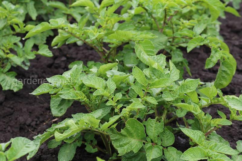 Какие гербициды можно использовать для защиты от сорняков после посадки картофеля?