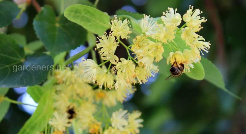Особливості липового меду: користь, вживання, зберігання
