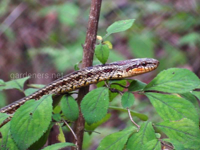 Змея Красноспинный полоз