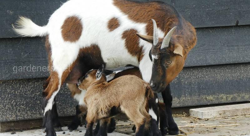 Як зробити верстат для доїння кіз своїми руками?