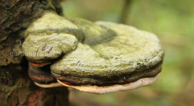 Разновидности и методы борьбы с грибами-паразитами в саду