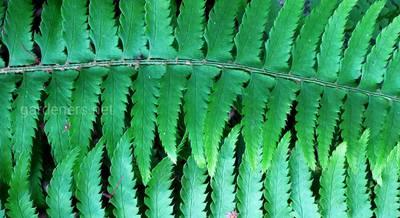 Популярные виды и сорта папоротника многорядника с фото