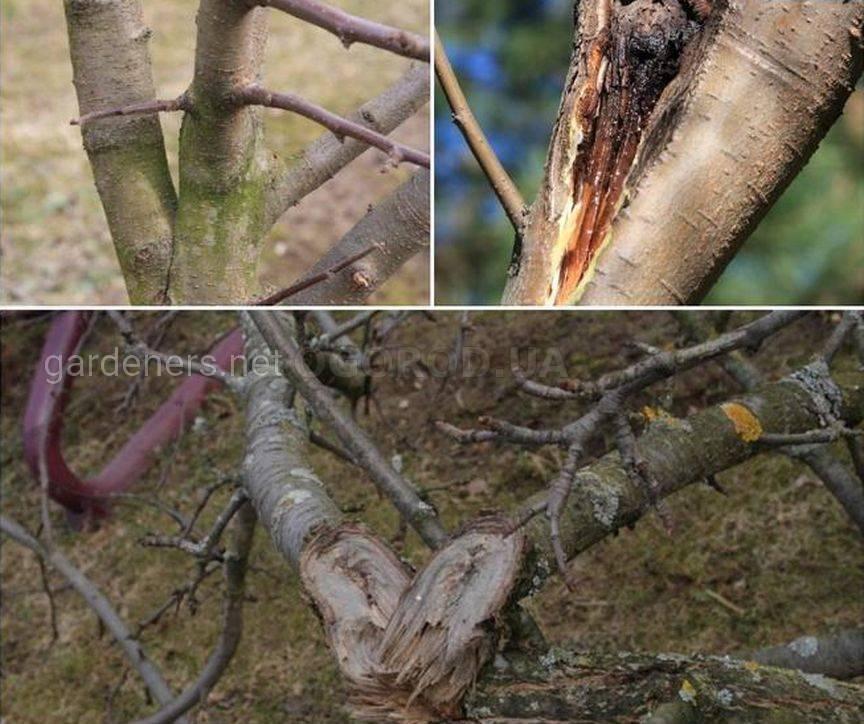 Несвоевременное формирование скелета дерева