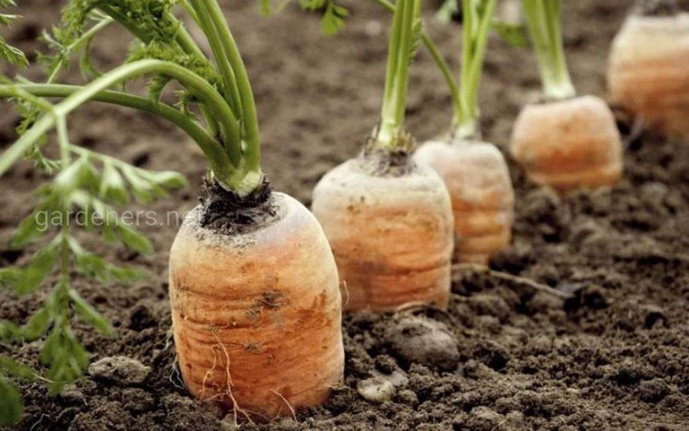 вялая морковь