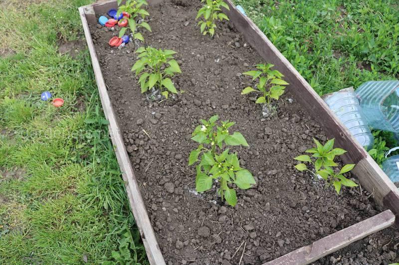 Как успешно вырастить рассаду перца на открытых грядках?