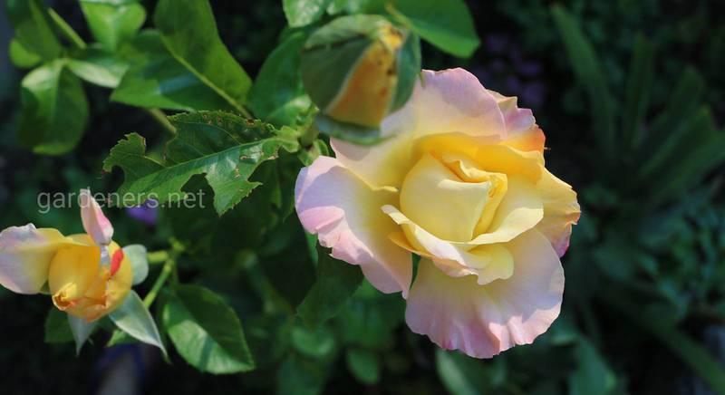 Как укрыть и обрезать чайно-гибридную розу