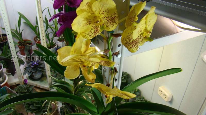 Як правильно доглядати за орхідеєю Ванда?