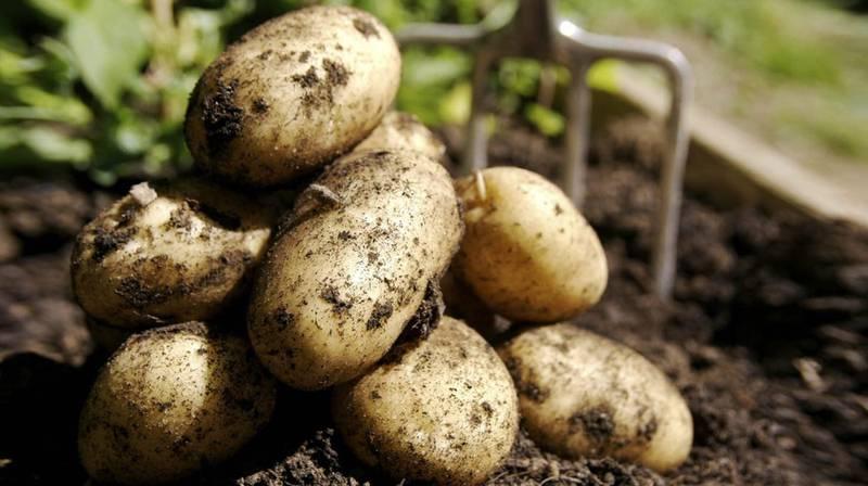 Как собирать и правильно хранить картофель?