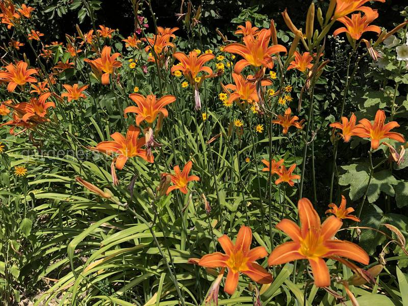 Как размножать лилии?