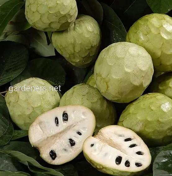Черимойя, Описание экзотического фрукта!