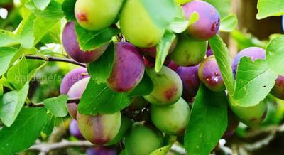 Правильное размещение плодовых и ягодных кустарников: место, «соседство» и схема