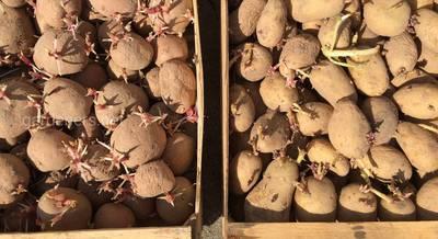 весенняя посадка картофеля