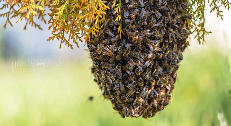 Как спасти пчел от варроа благодаря грибам и бактериям?