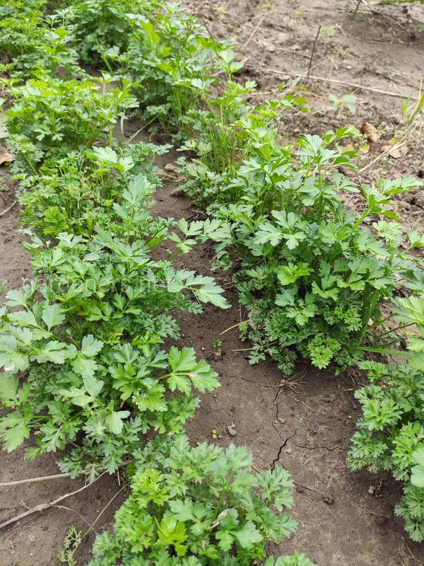 Как правильно выращивать незаменимое пряное растение - петрушку?